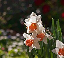 Daffodil Bokeh by jayneeldred