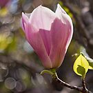 Light Through Magnolia by jayneeldred