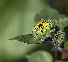 Sunflower About To Bloom by Lori Peters