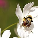 Bee On White Flower by Lori Peters