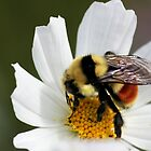 Bee On White Flower 2 by Lori Peters