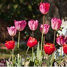 Glorious Tulips by jayneeldred