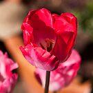 Tulip Time by jayneeldred