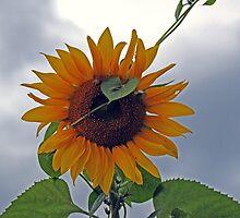 Heart of a Sunflower by Terri~Lynn Bealle