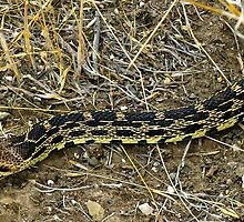 Pacific gopher snake by David Chesluk