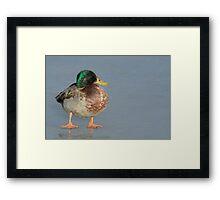 Old Mallard Duck Drake Framed Print
