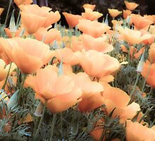 Peachy Poppies by Susan See