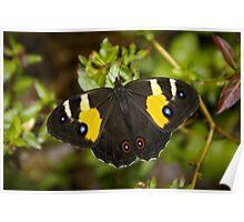 Sword Grass Brown Butterfly Poster