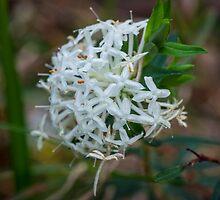 Slender Rice Flower - 2 by pcbermagui