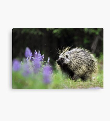 Porcupine in Lupin Canvas Print