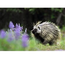 Porcupine in Lupin Photographic Print