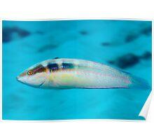 Tailspot Coris, Ningaloo Reef Poster