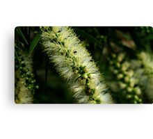 Bottle Brush Flower, with a few friends Canvas Print