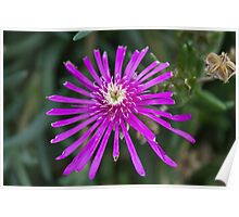 aster in the garden Poster
