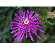 aster in the garden Photographic Print