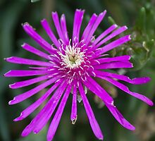 aster in the garden by spetenfia