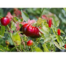 red chili Photographic Print