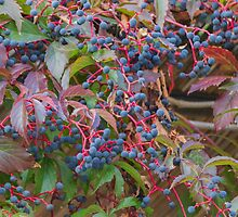 blue berries in the garden by spetenfia