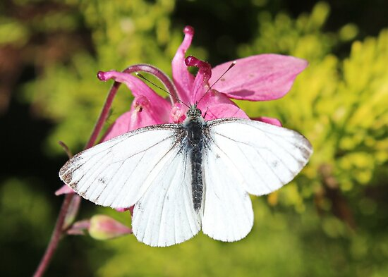 Small White Butterfly on Aquilegia by AnnDixon