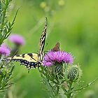Tiger Swallowtail And Skipper Butterflies On Thistle by MotherNature