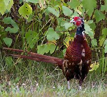 pheasant in the meadow by spetenfia