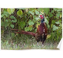 pheasant in the meadow Poster