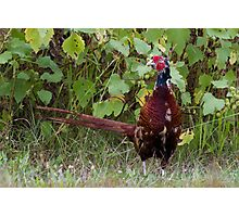 pheasant in the meadow Photographic Print