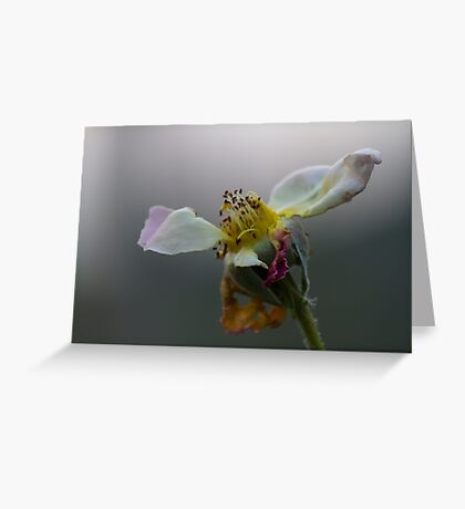 dried rose in the garden Greeting Card