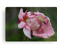 dried rose in the garden Metal Print