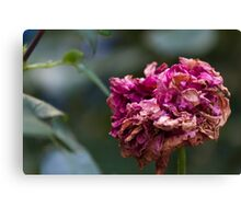 dried rose in the garden Canvas Print