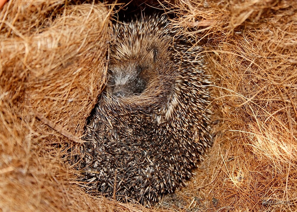 Hedgehog a Snug as a Bug by AnnDixon