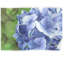 Blue Hydrangea at Bodnant Gardens - Aquamarkers. Poster
