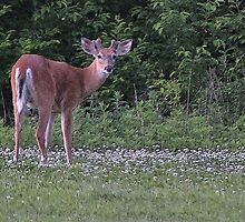 Young Buck in the Meadow by Gilda Axelrod
