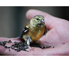 Goldfinch Fledgling & Niger Seeds... Photographic Print