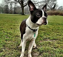 Portrait of Meryl the Boston Terrier II by Ludwig Wagner