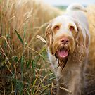 Orange & White Italian Spinone Dog by heidiannemorris