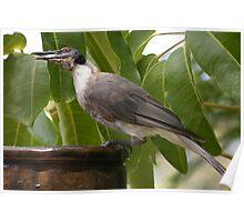 Noisy Friarbird Poster