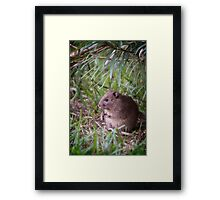 Bush Rat.... Framed Print