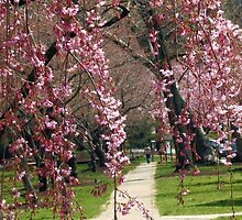 Peeping though the Weeping Cherries by nastruck