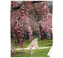 Peeping though the Weeping Cherries Poster