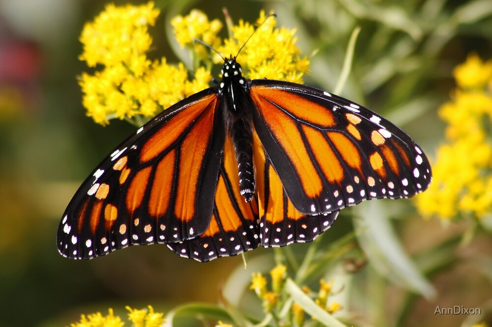Monarch Butterfly (Female) on Golden Rod by AnnDixon