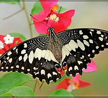 Lime Swallotail (Papilio demoleus linnaeus) by DonMc