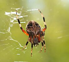 Orb Weaver Spider by Scott Mitchell
