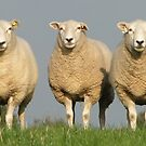 Clean Lleyn Sheep by Barrie Woodward