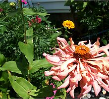 Peach Zinnias grow in Mo's garden  by Maureen Zaharie
