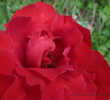 Red Roses in Mo's garden by Maureen Zaharie