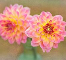 Beautiful Pink and Yellow Dahlia by carolynrauh