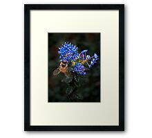 Bee on Ceanothus Framed Print
