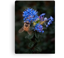 Bee on Ceanothus Canvas Print