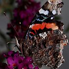 Red Admiral   by Kane Slater